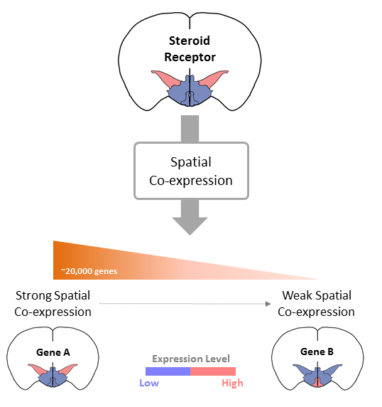 Genome-wide Coexpression of Steroid Receptors in the Mouse Brain   LUMC
