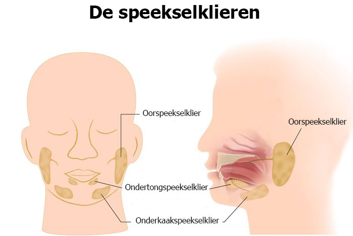 Illustratie speekselklieren