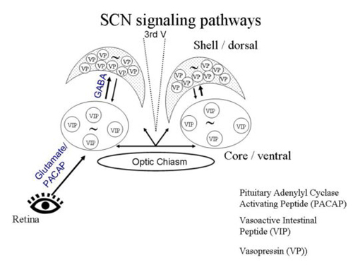 scn signaling