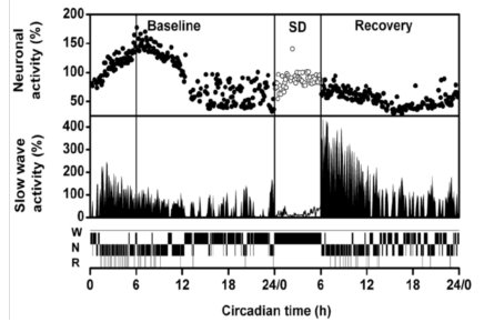 48-h record of suprachiasmatic nuclei neuronal activity